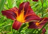 Hemerocallis Black Prince