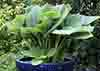 Hosta Blue Wu