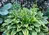 Hosta Bridgeville